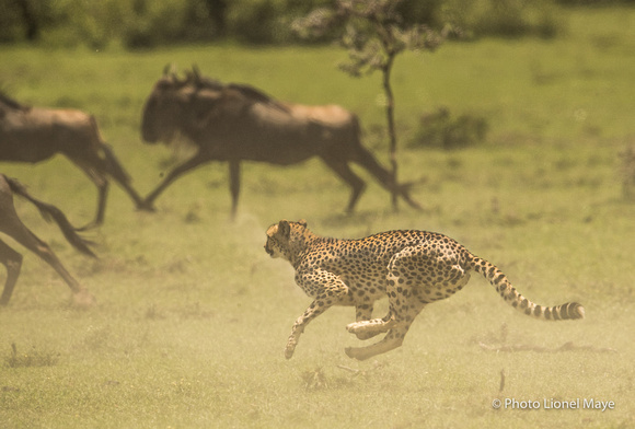 Guépard et gnous - Cheetah and Wildebeest