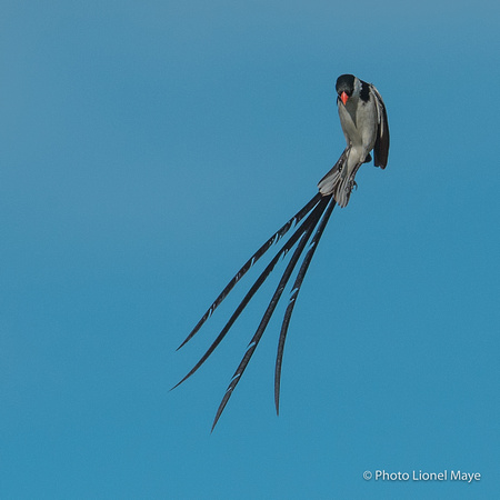 Veuve Dominicaine - Pin Tailed Whydah
