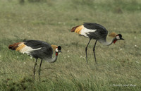 Grues Royales - Grey Crowned Cranes